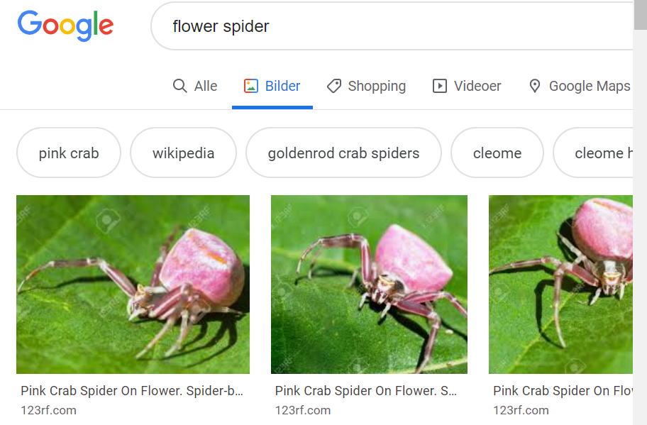 "Google  pink crab  flower spider  Q Alle gilder Shopping Videoer  wikipedia  9 Google Maps  cleome  goldenrod crab spiders  Pink Crab Spider On Flower.  123rf.com  cleome  Pink Crab Spider On Flower. Spider-b.""  123rf.com  Pink Crab Spider On Flo'  123rf.com"